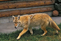 COYOTE outside house looking for food..Urban encroachment. Rocky Mountains..(Canis latrans).