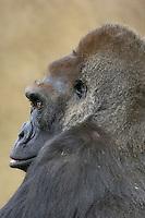 Gorilla (Gorilla gorilla).(San Diego Wild Animal Park, San Diego, CA)