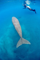 snorkeler and male dugong or sea cow, Dugong dugon, with scars, (Indo-Pacific Ocean)