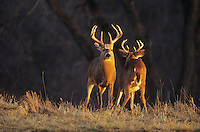 White-tailed Deer (Odocoileus virginianus), bucks fighting, Minnesota, USA