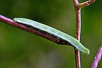 Aurorafalter, Raupen, Raupe, Aurora-Falter, Anthocharis cardamines, orange-tip, caterpillar, L'Aurore