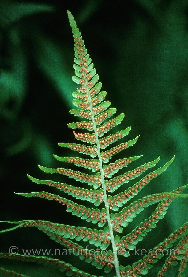 Wurmfarn, Blattunterseite mit Sporen, Dryopteris spec., Male Fern