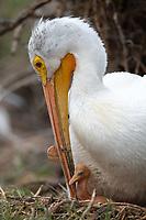 American White Pelican (Pelecanus erythrorhynchos) feeding chick on nest. Lake County, Oregon. April.