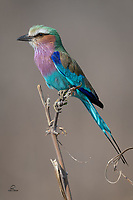 Lilac-breasted Roller (Coracias caudatus), unofficial national bird of both Kenya and Botswana, poses nicely for us. Featuring seven different and brilliant colors, this species grows to approximately 14 inches high. Uncropped image.