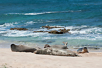 Hawaiian monk seals, Neomonachus schauinslandi; dominant male reacts to the approach of a juvenile that has just come out of the water; Critically Endangered endemic species, west end of Molokai, USA, Pacific Ocean