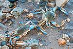 Blue crab 2 shot at edge of water at low tide.