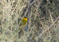 Wilson's warbler, Wilsonia pusilla. Wildrose Canyon, Death Valley National Park, California