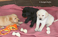 SH37-501z  Lab Puppies - Genetic variation, Black, Yellow and White,  4 weeks old