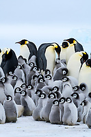Snow Hill Island, Antarctica. Creches of juvenile emperor penguins huddle together for warmth.