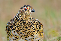Adult female Willow Ptarmigan (Lagopus lagopus) in summer plumage. This plumage renders the bird almost invisible when it is nestled into its nest. Yukon Delta, Alaska. June.