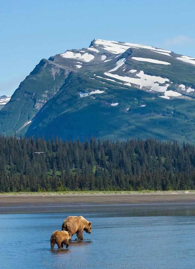 Brown bears walking along the beach in Lake Clark National Park, Alaska