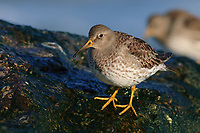 Adult Purple Sandpiper (Calidris maritima) in winter (basic) plumage on coastal rocks. Ocean County, New Jersey. February.