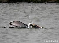 0308-0816  Brown Pelican Drinking Water, Pelecanus occidentalis © David Kuhn/Dwight Kuhn Photography