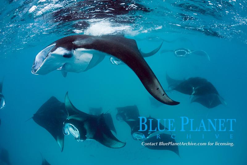reef manta rays, Mobula alfredi, feeding on plankton, Hanifaru Bay, Baa Atoll, Maldives, Indian Ocean
