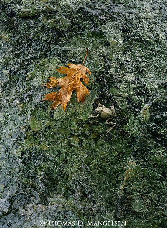 A small tree frog camouflages with a a rock while a golden oak leaf stands out in contrast. Yosemite National Park, California.
