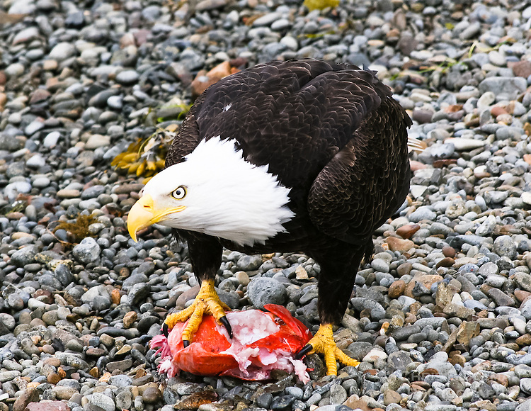 """Gift card photo (set of 4) of Bald eagle in Sitka, Alaska shows other eagles that this piece of fish is """"mine"""""""