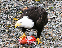 "Gift card photo (set of 4) of Bald eagle in Sitka, Alaska shows other eagles that this piece of fish is ""mine"""