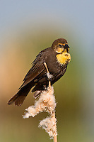 Female Yellow-headed blackbird perched on a bullrush