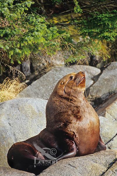 Northern Sea Lion or Steller's Sea Lion bull rests on coastal rocks.  Northwest coast (N.A.)