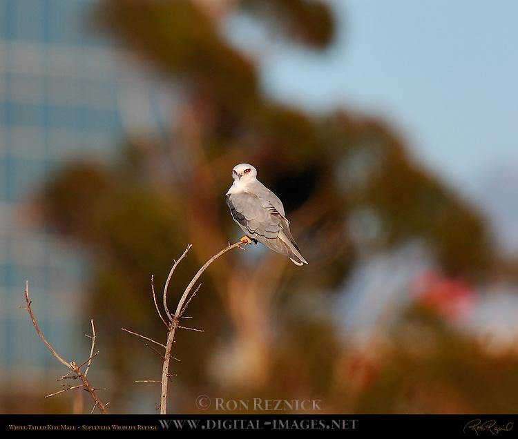 White-Tailed Kite, Portrait of Male, Sepulveda Wildlife Refuge, Southern California