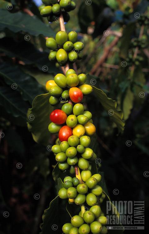 Ripening coffee beans in Kona on the big island