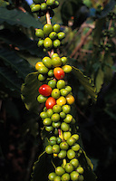 Ripening coffee beans in Kona on the big island