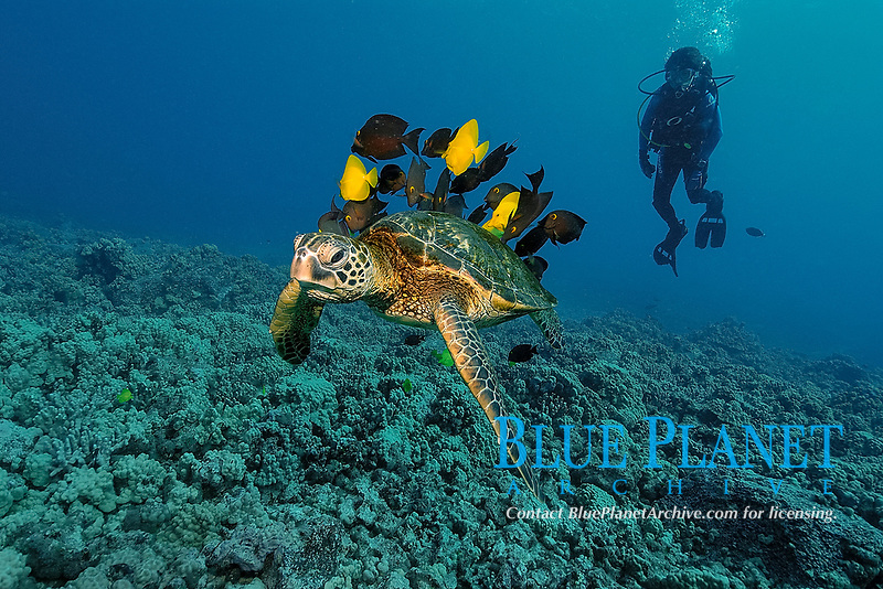 scuba diver observes as green sea turtle, Chelonia mydas, gets cleaned by yellow tangs, Zebrasoma flavescens and lined bristletooth, Ctenochaetus striatus, Kailua-Kona, Big Island, Hawaii, USA, Pacific Ocean, N. Pacific
