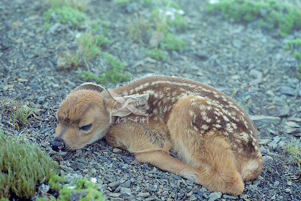 Very young Black-tailed deer fawn (Odocoileus hemionus) in subalpine area on wet morning, Pacific Northwest, summer.