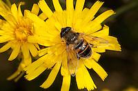 Große Bienenschwebfliege, Bienen-Schwebfliege, Mistbiene, Schlammfliege, Weibchen beim Blütenbesuch, Eristalis tenax, drone fly