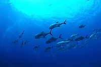 School of common jacks in the Gulf of Mexico. School of common jacks, crevally, Caranx hippos, flower garden banks, sanctuary, Gulf of Mexico, off Texas, south, USA, united states