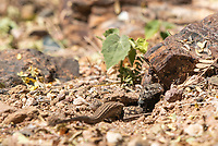 Sonoran Tiger Whiptail, Aspidoscelis tigris punctilinealis, digs a burrow in the Desert Botanical Garden, Phoenix, Arizona