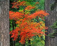Vine maple between douglas fir trees in Mt Hood National Forest, Oregon