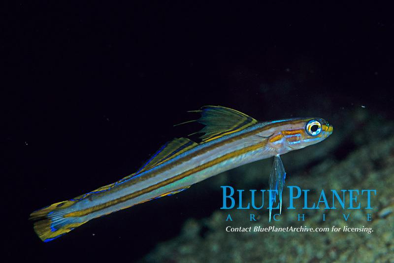 Lined dartfish, Ptereleotris grammica, Kashiwa-jima Island, Kochi Pref., Japan, Pacific Ocean