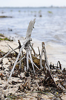 Remains of mangroves after hurricane Ivan