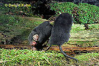 MB21-001x  Star-nosed Mole - adults fighting over territory - Condylura cristata