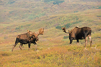 moose, Alces alces, two bulls with large antlers in velvet, fall tundra colors, Denali National Park, interior of, Alaska, USA