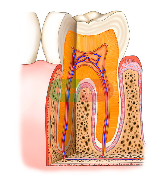 Partial section through tooth, normal anatomy