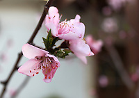 Stock image of pink cherry blossom flowers on a branch.