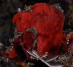 Red Frogfish , Antennarius ocellatus, Underwater macro marine life images;  Photographed in Tulamben; Liberty Resort; Indonesia.Underwater Macro Photographer on FB 2nd Annual event