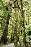 Walking track through rainforest near Haast, West Coast, UNESCO World Heritage Area, South Westland, New Zealand, NZ