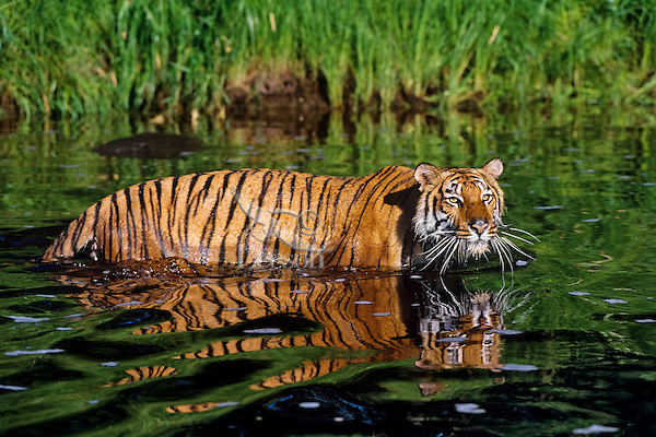Bengal Tiger (Panthera tigris tigris).  Tigers are the only cats that like to get in the water and they frequently use water to cool off during hot days.