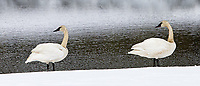 I saw a lot of swans in Yellowstone this year.