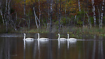 Trumpeter swans resting on a wilderness lake in northern Wisconsin.
