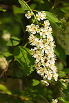 Chokecherry Blossoms, Prunus virginiana