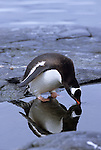 A Gentoo penguin drinking water on the Antarctic Peninsula.