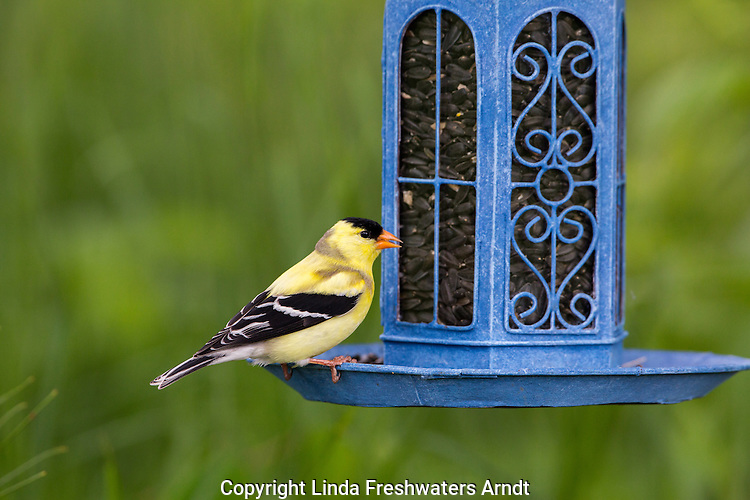 Male American goldfinch at a backyard feeder
