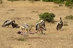 African Black-Backed Jackals (Canis mesomelas) and Vultures (Gyps africanus) on the Masai Mara National Reserve safari in southwestern Kenya.