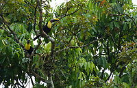 Black-mandibled Toucans, Ramphastos ambiguus, perched on a branch at La Selva Biological Station, Costa Rica. Listed as Near-Threatened in the IUCN Red List of Threatened Species.