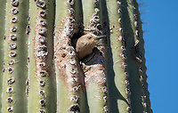 A female Gila Woodpecker, Melanerpes uropygialis, emerges from its nest in a Saguaro cactus, Carnegiea gigantea,, in the Arizona-Sonora Desert Museum, near Tucson, Arizona