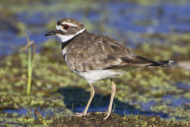 Killdeer standing on a bed of weeds